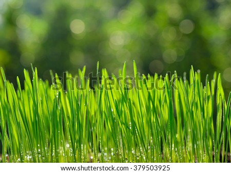 Fresh green wheat grass organic with drop dew growing in nature - stock photo