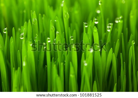 Fresh green wheat grass with drops dew / macro background - stock photo