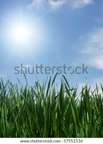 Fresh green wheat leaves in the sunshine - stock photo