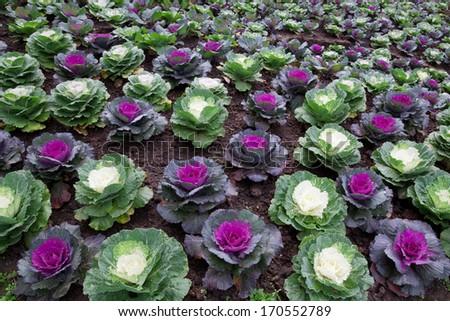 Fresh, green, young organic collard greens,Cabbage Garden. - stock photo