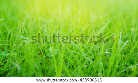 Fresh Growth Green Grass in Sunny Day closeup Outdoors, overgrown grass.