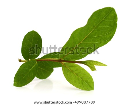 Fresh guava tree leaves close up macro shot isolated on white background