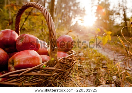 Fresh harvest of apples. Nature theme with red grapes and basket