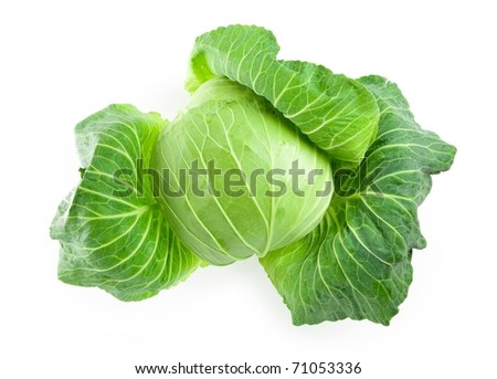 Fresh harvested cabbage with the outer most leaves still intact and open. shot form above.  Isolated on white with natural shadow.