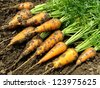 fresh harvested carrots on ground - stock photo