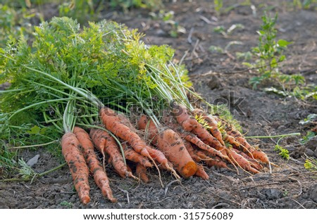 fresh harvested carrots on the ground - stock photo