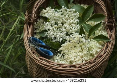 Fresh harvested elderflowers in wicker basket outside in the garden - stock photo