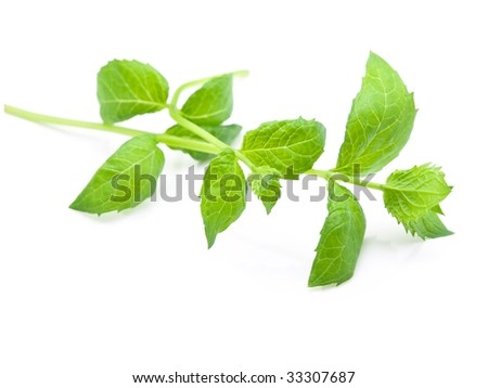 Fresh harvested spearmint leaves (Mentha spicata) isolated on white with natural shadows - stock photo