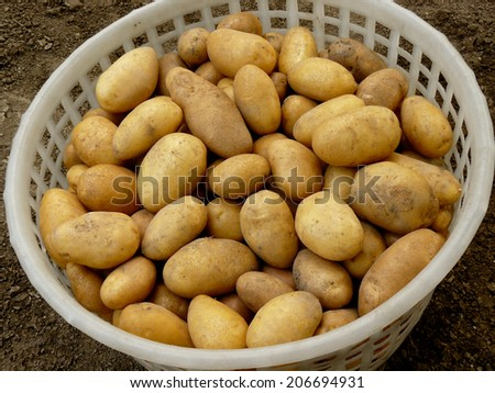 fresh harvested yellow potato tubers picked in plastic basket - stock photo