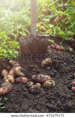 Fresh harvesting potatoes on the ground