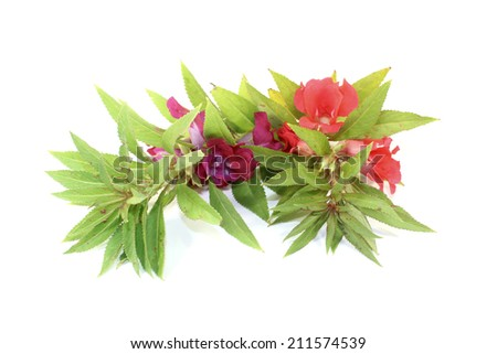 fresh healthy red and purple Balsam on a light background