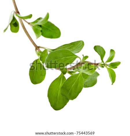 Fresh Herb Marjoram (origanum majorana ) isolated on white - stock photo