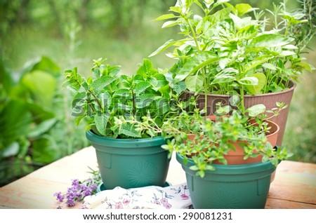Fresh herbs in pots - stock photo
