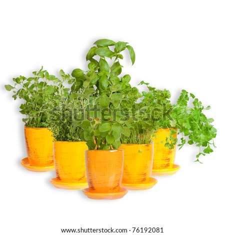 Fresh herbs in yellow pots. Mint, basil, thyme,  parsley  oregano and coriander - stock photo