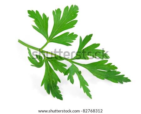 Fresh herbs parsley - stock photo