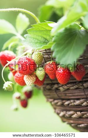 Fresh home grown strawberries - stock photo