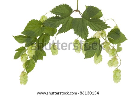 fresh hop's cones with green leaf on stem