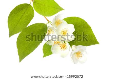 Fresh Jasmine closeup - stock photo