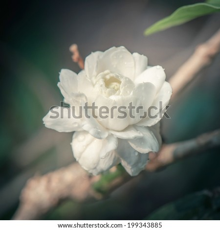 Fresh jasmine flower in vintage tone - stock photo