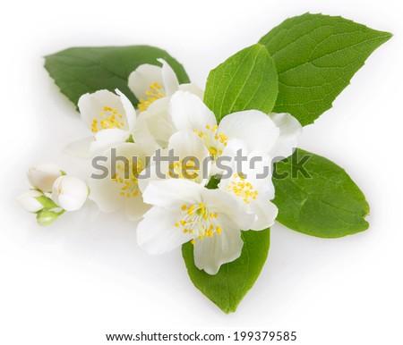 fresh jasmine on white background - stock photo