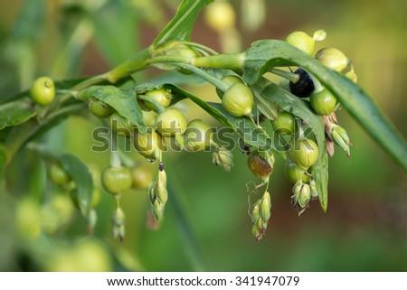 fresh job's tears ( coix lachryma-jobi ) - stock photo