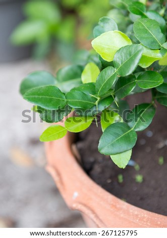 Fresh Kaffir lime leaves