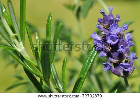 Fresh lavender and rosemary in the herb garden - stock photo