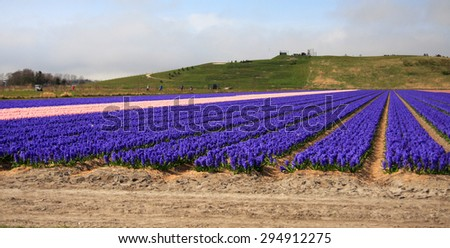 Fresh Lavender field in Spring.