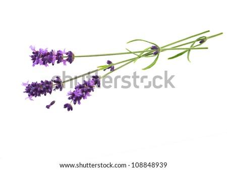 fresh lavender flowers over white background - stock photo