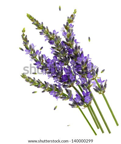 fresh lavender flowers over white background. healthy herb