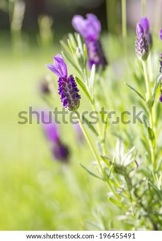fresh lavender growing in the summer garden - stock photo