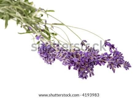 fresh lavender isolated on the white background. aromatherapy