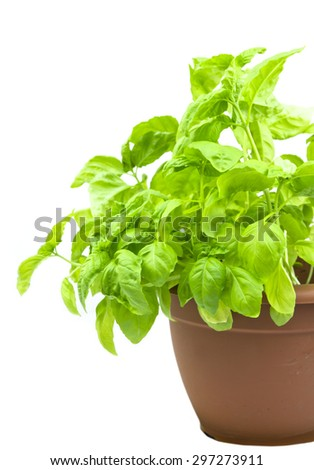 fresh leaf of basil in the pot isolated - stock photo