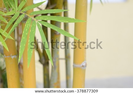 Fresh leaf of Yellow bamboo ( soft focus ) - stock photo