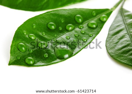 Fresh leaf with water drop on white background - stock photo