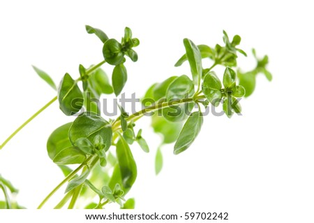 Fresh leafs of thyme herbs on a white background - stock photo