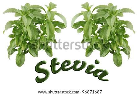 fresh leafs stevia - stock photo