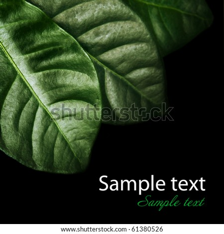 Fresh Leaves isolated on black - stock photo