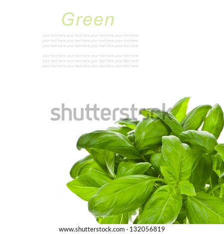 Fresh leaves of basil isolated on white background with sample text - stock photo