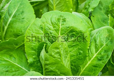 Fresh leaves of green lettuce in closeup - stock photo