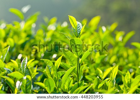 Fresh leaves of green tea at the plantations in Munnar, Kerala, South India