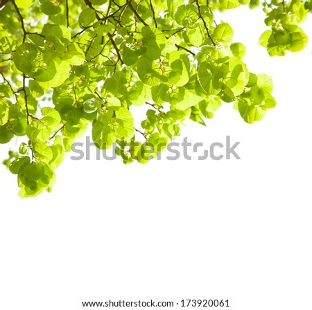 Fresh leaves of Tilia  isolated on white background. lime trees