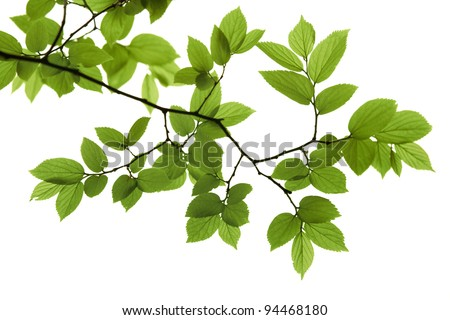 Fresh leaves on white background - stock photo
