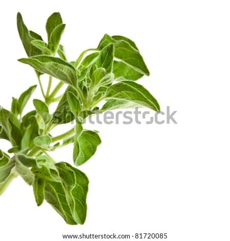 fresh leaves oregano ( marjoram ) isolated - stock photo