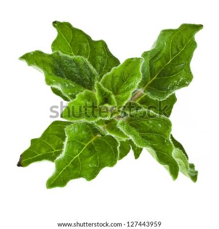 fresh leaves oregano or marjoram  (Origanum Vulgare L.)  isolated - stock photo