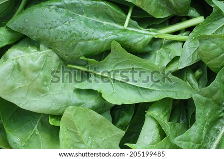 Fresh leaves spinach with water drops - stock photo