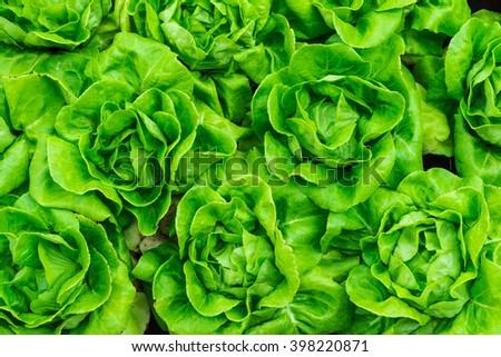 fresh lettuce background - stock photo