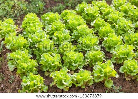 fresh lettuce field - stock photo