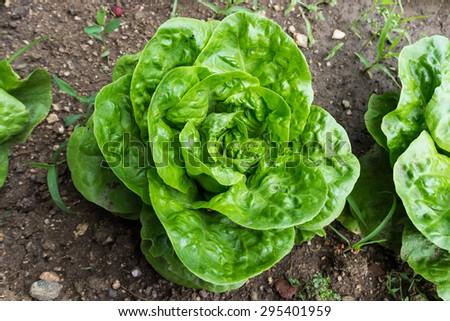Fresh lettuce growing in a field - stock photo