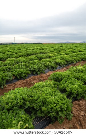 Fresh lettuce growing in a spanish field - stock photo